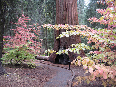 Sierra Photograph - Sequoia  Trees 3 by Naxart Studio