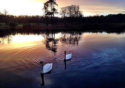 Dromoland Photograph - Serene Swans by Elizabeth Wuebker