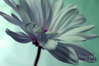 White Daisy Photograph - Serenity Of Miracles by Krissy Katsimbras