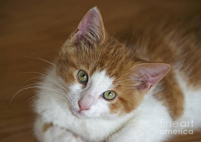 Orange Tabby Photograph - Serious Cuteness.. by Nina Stavlund
