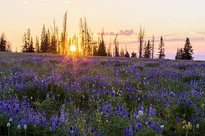 Lupine Photograph - Shades by Chad Dutson