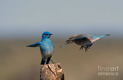 Bluebird Photograph - Share My Post by Mike Dawson