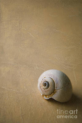 Sea Creatures Photograph - Shark-eye Seashell by Diane Diederich