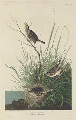 Finch Drawing - Sharp-tailed Finch by John James Audubon