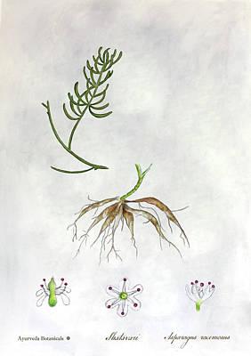 Asparagus Drawing - Shatavari - Wild Asparagus by Ranjana Sharda