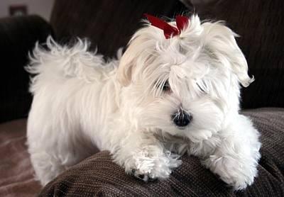 Shayla The Maltese Pup Original by BJ Redmond