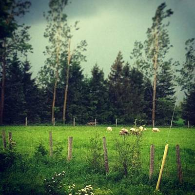 Sheep Photograph - #sheep & #lambs Out In The #storm by Candice Coghlin