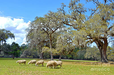 Catherine Middleton Photograph - Sheep Grazing At Middleton Place by Catherine Sherman