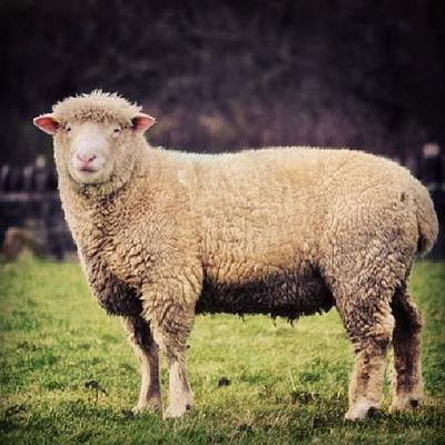 Sheep Photograph - #sheep #instagood #photooftheday #sweet by Vicki Field