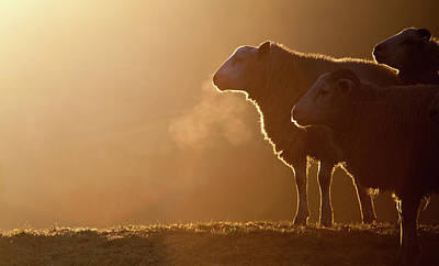 Livestock Photograph - Sheeps Breath by Peter Chadwick LRPS