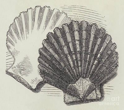Nature Study Drawing - Shells by English School