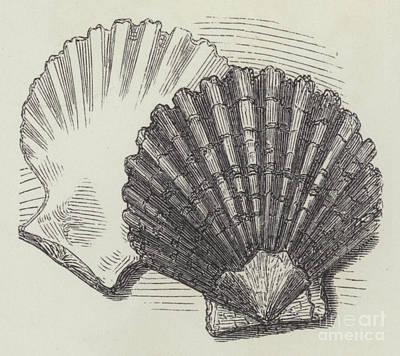 Shells Print by English School