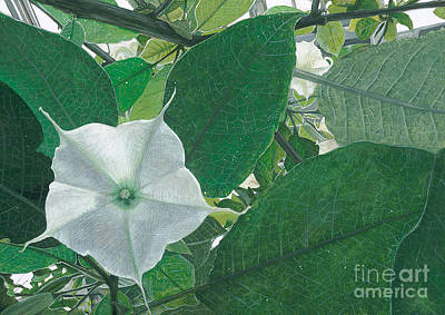 Datura Painting - Sheltered From The Sun Datura by David Elliston