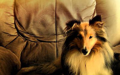 Miniature Collie Photograph - Sheltie Dog by Sheltie Planet