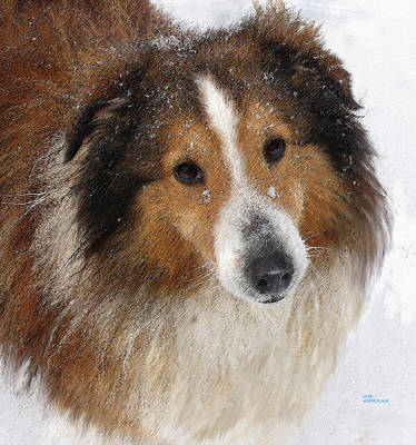 Canines Digital Art - Sheltie In The Snow by Jane Schnetlage