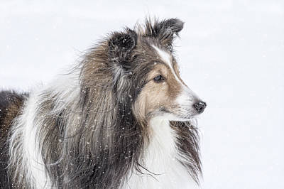 Miniature Collie Photograph - Sheltie Snow Day by Pat Eisenberger