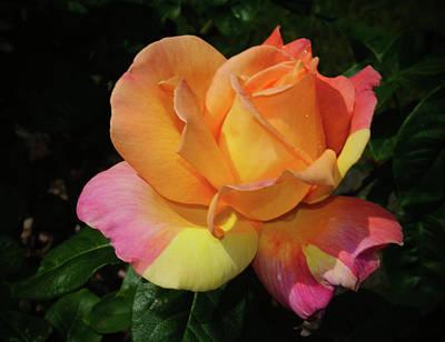 Photograph - Sherbert Rose Delight by Tikvah's Hope