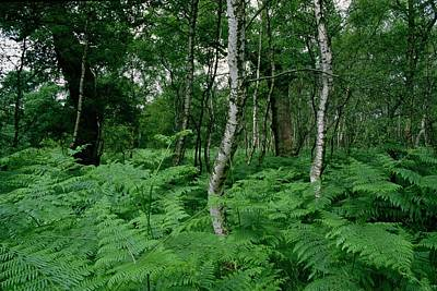 Ferns Painting - Sherwood Forest by Unknown