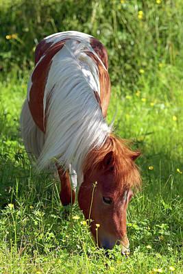 Shetland Pony Photograph - Shetland Pony And Buttercups by Sharon Talson