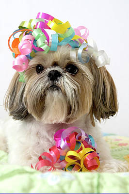 Multi Colored Photograph - Shih Tzu Dog by Geri Lavrov