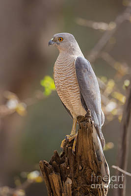Gir Photograph - Shikra In India by B. G. Thomson