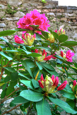 Photograph - Shining Pink-colored Blossoms Of A Mediterranean Plant by Regina Koch