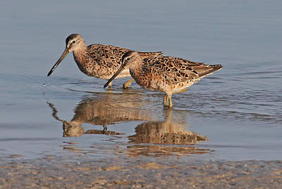 Dowitcher Photograph - Short-billed Dowitchers by HH Photography of Florida