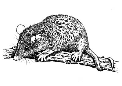 Marsupial Drawing - Short Tailed Opossum by Marc Zev