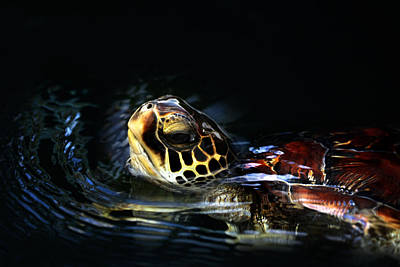 Green Sea Turtle Photograph - Short Visit by Marilyn Hunt