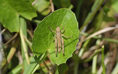 Shortwinged Green Grasshopper Original by Kenneth Albin