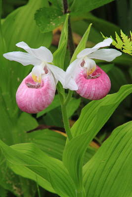 Showy Lady's Slipper Twin Flowers Print by John Burk