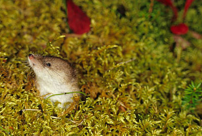 Shrew Pokes Head Out Of Tundra Print by Michael S. Quinton