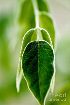 Shrub Leaves Print by Ray Laskowitz - Printscapes