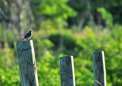 Positivity Photograph - Sialia Sialis Eastern Bluebird by Rebecca Sherman