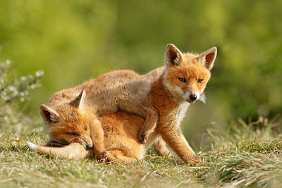 Fox Photograph - Sibbling Love - Playing Fox Cubs by Roeselien Raimond