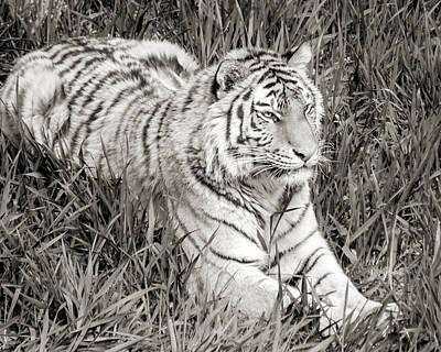 Siberia Photograph - Siberian Tiger In Grass by Jim Hughes