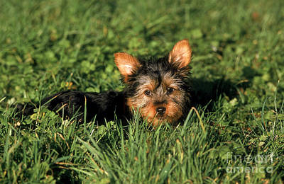 Silky Terrier Photograph - Silky Terrier by Gerard Lacz