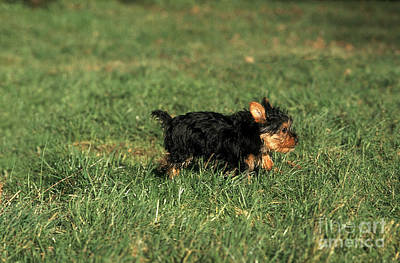 Silky Terrier Photograph - Silky Terrier, Puppy Walking On Grass by Gerard Lacz