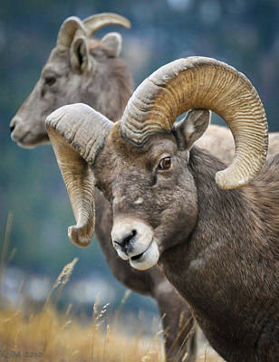 Ram Horn Photograph - Silly Boy by Kevin Munro