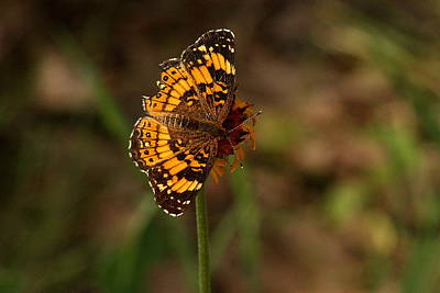 Checkerspot Photograph - Silvery Checkerspot Butterfly by Sheila Brown