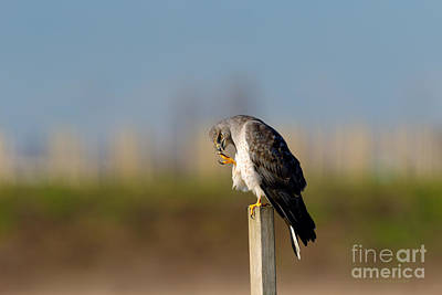 Northern Harrier Photograph - Simon Says by Beve Brown-Clark Photography