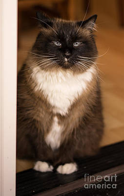 Ragdoll Photograph - Simon The Cat In The Doorway by Mike Reid