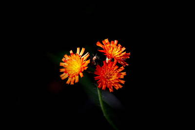 Flower Photograph - Simple Triple by Emily Stauring