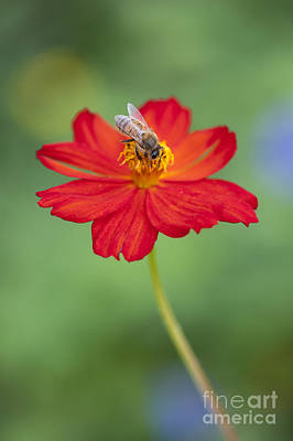 Simply Bee Print by Tim Gainey
