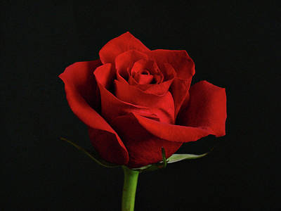 Simply Red Rose Print by Sandy Keeton