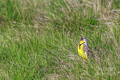 Singing Western Meadowlark Original by John Lee
