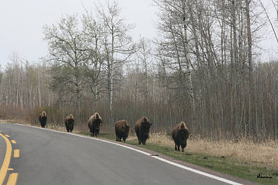 Roaming Elk Photograph - Single File Now by Andrea Lawrence