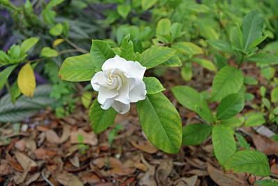 Florida Photograph - Single Gardenia Blossom by Aimee L Maher Photography and Art Visit ALMGallerydotcom