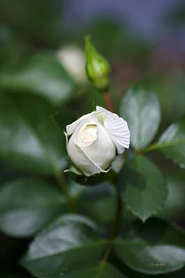 Single White Rose Print by Christina Rollo
