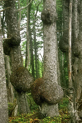 Woody Photograph - Sitka Spruce Burls On The Olympic Coast Olympic National Park Wa by Christine Till